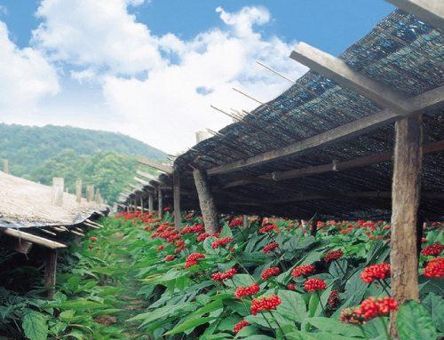 Ginseng Rosso coreano: caratteristiche, coltivazione e proprietà benefiche